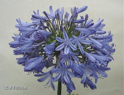 3 New  Agapanthus Barnfield Blue blue flowers garden perennial plant ex 9cm pots
