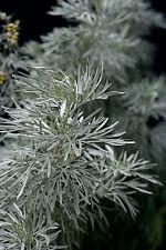 Vero VERMOUTH - 1000 semi-assenzio, Artemisia, Vermouth crauti