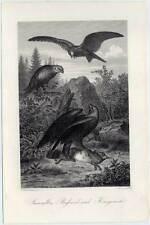 Steinadler-Bussard-Weihe-Jagd-Wild-Vögel - Kupfer 1860