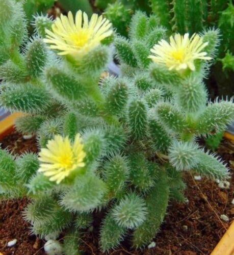 Delosperma echinatum cactus crasas suculentas succulents sukkulent cacti kakteen