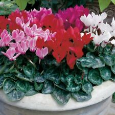 15 Cyclamen Seeds Miracle Mix