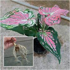 "1 Bulbs Caladium Plants ,Queen of the Leafy ""DangDeam"" Ornamental Plants Fresh"