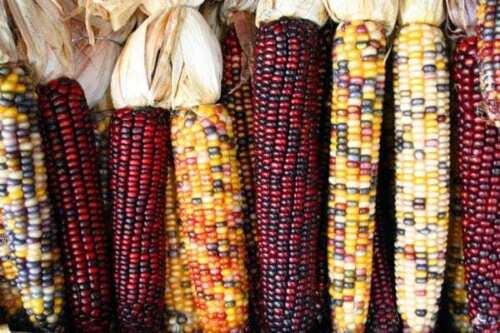 Smoke Signal Puffmais Corn Seeds -Saatgut SPEZIALITäT und FEIN! 25+ Samen