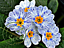 Zebra Primrose Seeds Beautiful Garden Home Decor Flowers Plants Yard 30 Pcs