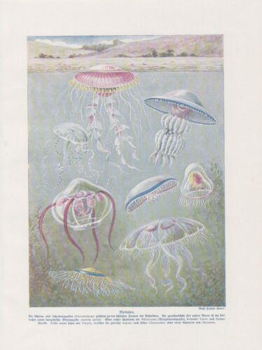 Medusen Quallen Medusa Ohrenqualle Schirmqualle FARBDRUCK von 1912 Jellyfish