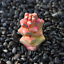 Monadenium-ritchiei-ssp-nyambense-paniculatus-Succulent-plants-potted-Plants thumbnail 3