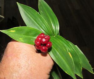 25-fresh-seeds-Maianthemum-racemosum-false-Solomon-039-s-seal-Asparagaceae