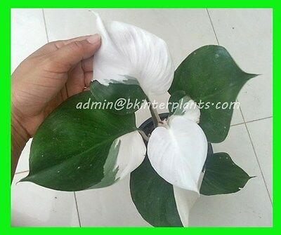 "Rare PHILODENDRON ""2 Tone Super White Vareigated"" Very Beautiful Leaf+Free Phyto"
