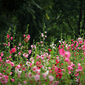 200-Pcs-Hollyhock-Carnival-Mixed-Flower-Plant-Seeds-Garden-Perennial-Flower
