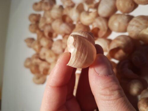 Shells-second-class 70 Large//Medium size Shelldwelling Cichlids//Tank Decor