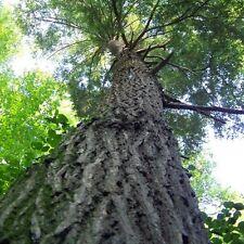 Eastern Hemlock Tree Seeds ( Tsuga canadensis) 30+Seeds