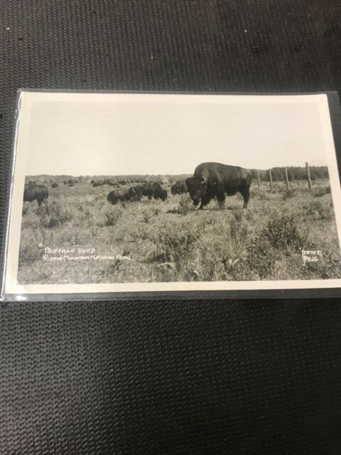 real photo postcard Buffalo Herd Riding Mountain National Park Terrett  Photo A1