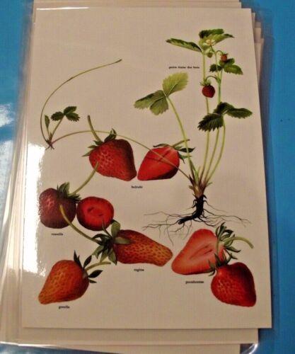 Art print affiche thermoplastique planche ancienne Fruit Fraise des Bois Rossell