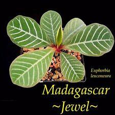 ~Madagascar Jewel~ Euphorbia leuconeura Unique Bonsai Palmlike Live Potted Plant