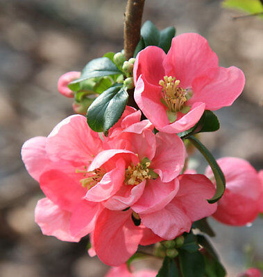 Chaenomeles Pink Lady in 9cm pot