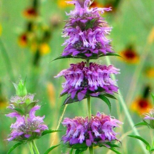 Bee Balm Heirloom Non-GMO Bulk Herb Seeds 75,000ct 1 oz Lemon Mint Seeds
