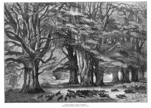 Bushy Brattley During Beechmast The New Forest Antique Print 1875