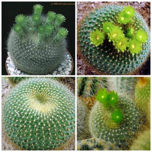 50 semi  di Brasilicactus graessneri seeds cactus