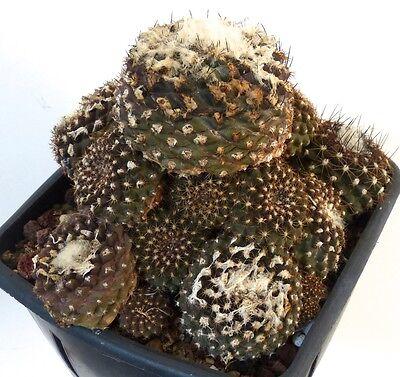 1 SEED Encephalartos delucanus EXTRA RARE CYCAD seed korn semillas rare samen