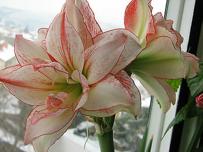 1x Hippeastrum ' Aphrodite ' ( Amaryllis hybrid flower bulb ) St. Joseph's Lily