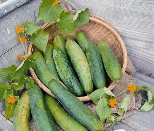 """Nouveau pack kings semences potagères outdoor concombre /""""Bedfordshire prix/"""""""