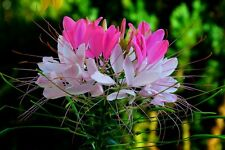 RARE Hot PINK / WHITE Spider Flower (CLEOME) 25 SEEDS! Comb.S/H! SEE OUR STORE!