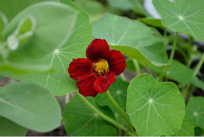 5//40 Graines CAPUCINE Veloutée Profonde Rouge Noire Fleurs Comestibles