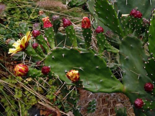2 Opuntia Monacantha Talee Cuttings