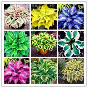 200pcs-Mixed-Colorful-Hosta-Beautiful-Flower-seeds-Bonsai-White-Lace-Potted-Foli