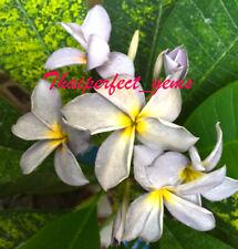 "Plumeria//Frangipani//Plants///"" Black Window /""// 55 seeds RARE!!"
