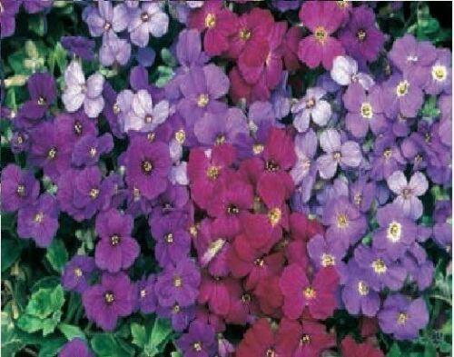 Blaukissen Deltoidea Blumen Royal Gemischte 7500 Samen Bulkware
