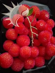 Arbutus-unedo-Erdbeerbaum-Strawberry-Tree-30-150-Samen