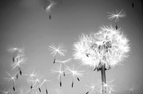 VLIES Fototapete-PUSTEBLUME- 1520V -Schwarz-Weiß Kunst Wandbild Blumen Natur