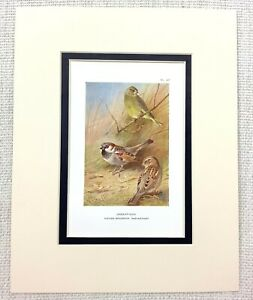 Vintage Uccello Stampa Thorburn's Verdone Comune Finch Casa Sparrow C.1929