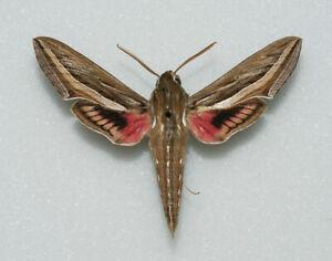 Sphingidae-Hippotion-celerio-Silver-striped-Hawk-moth-male