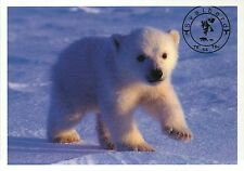 Polar Bear Cub Walking, Baby, Svalbard, Norway, Arctic Circle - Animal Postcard