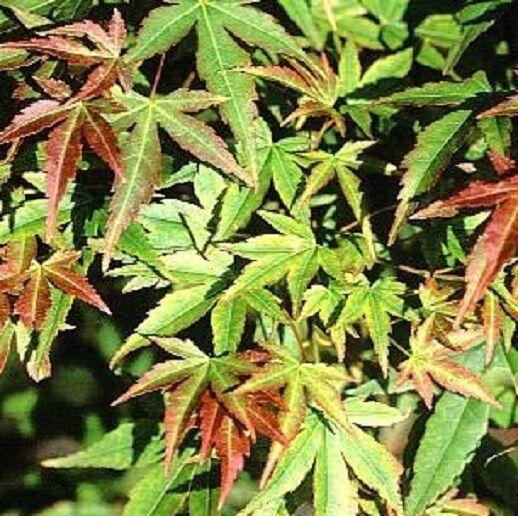 Acer palmatum Kogane Nishiki in 1L  pot