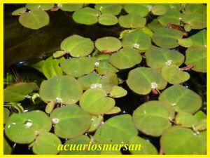 Planta-de-acuario-o-estanque-Phyllantus-fluitans-8-Plantas-flotantes-Pecera
