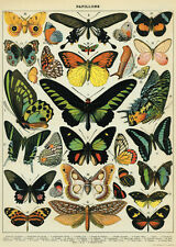 Butterflies  Papillons Poster Cavallini & Co 20 x 28 Wrap Butterfly