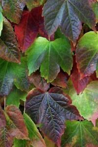 50pcs Green Boston Ivy Seeds Parthenocissus Tricuspidata Seed Climbing TreeQ