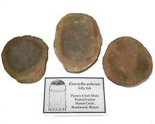 Pennsylvanian Carboniferous Mazon Creek fossil jellyfish Essexella soft body (s)