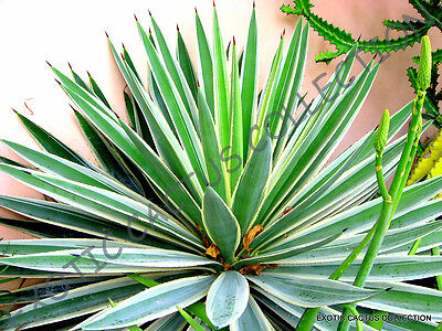 RARE AGAVE ANGUSTIFOLIA VARIEGATED @ exotic succulent cactus seed plant 15 SEEDS