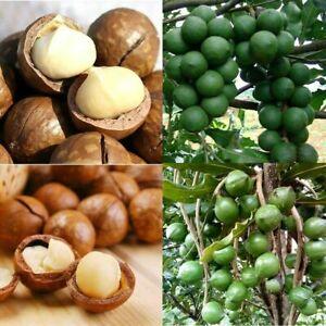 2Stk-Hawaiian-Seltene-Macadamia-Nut-Samen-Macadamia-integrifolia-Pflanzen-Samen