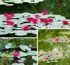 Jetzt einsetzen im Teich Kleinwüchsige Nymphea burgundi princess  I Rhizom Deko