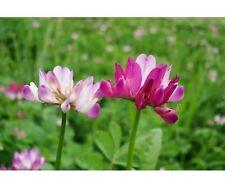 Chinese Milk Vetch / Astragalus - 100 Seeds