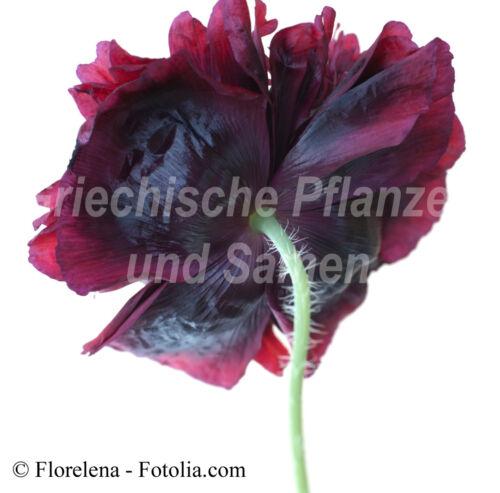 Mohn Black Peony 80 Graines Frais Noir Rempli Fleurs Pavot