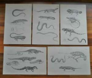 Antique-prints-19th-century-Victorian-era-prints-of-Lizards-Crocodile-etc