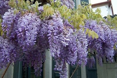 CHINESE WISTERIA (Wisteria sinensis) 5 seeds
