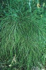 Asparagus virgatus / Broom Fern or Tiki Fern / Garden or House Plant / 10 Seeds