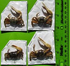One Unusual Forceps Fiddler Crab Uca forcipata FAST SHIP FROM USA